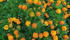 Growing Marigolds: Tips and Tricks - Gardening Channel Growing Poppies, Growing Marigolds, Planting Marigolds, Marigold Flower, Flower Pots, Pretty Flowers, Colorful Flowers, Home Made Fertilizer, Garden Soil