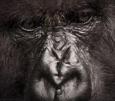 gorilla blink