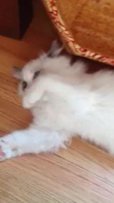 YumYum, 11 weeks Ragdoll. A video showing YumYum enjoying his Easter Milk Chocolate Bunny. || Handmade by Fido the Cat