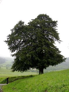 Image from https://upload.wikimedia.org/wikipedia/commons/7/7e/Taxus_baccata_tree.jpg.