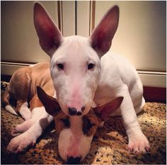 Bull terrier snuggles n love Mini Bull Terriers, English Bull Terriers, Bull Terrier Dog, I Love Dogs, Cute Dogs, Terrier Breeds, Dogs And Puppies, Doggies, Beautiful Dogs