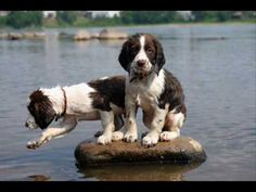 English Springer Spaniels  ~warning~ you may fall in love!