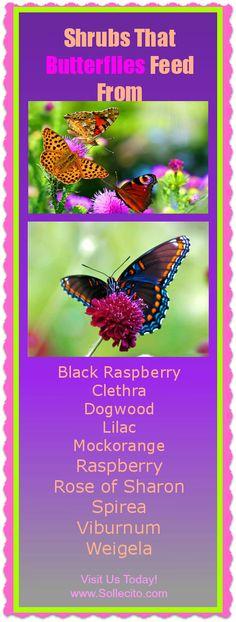 www.Sollecito.com Shrubs that butterflies feed from  #Butterflies #butterflyGardens #Flowers #LandscapingIdeas