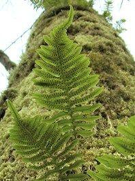 common laua e fern microsorium scolopendria plydodium