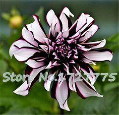 100/bag dahlia,dahlia flower Mixed Colors Dahlias Seeds For DIY Home Garden free shipping