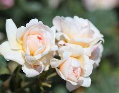 Felicia (Palatine Roses)
