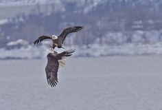 Bald Eagle Adults fighting for food Photo by Marcus Robertson -- National Geographic Your Shot