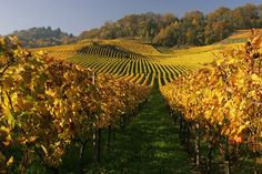 Weinberg am Mont-Vully - Fribourg Seen, Switzerland, Vineyard, Outdoor, Law School, Tourism, Scenery, Nature, Outdoors