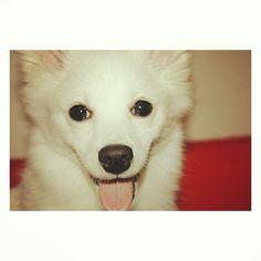 My lil fluffy beasty    #spitz#spitzgerman#dogs#doglover#love