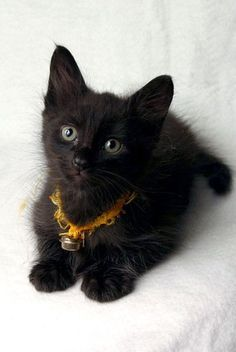 Pictures - National Black Cat Appreciation Day: Black Kitties Make 'Purrfect' Pets But Need 'Furever' Homes ASAP - National Holidays | Examiner.com