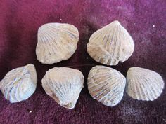 Lot of 6 Fossil BRACHIOPODS shells , Specimens from Morocco , #BR57 by Collectorman2008 on Etsy