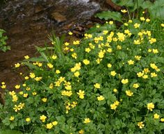 Wildflowers of Western Pennsylvania: Ranunculus septentrionalis