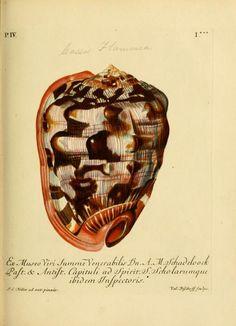 d.4 (1773) - G. W. Knorrs Verlustiging der oogen en van den geest ; of Verzameling van allerley bekende hoorens en schulpen, die in haar eigen kleuren afgebeeld zyn. - Biodiversity Heritage Library