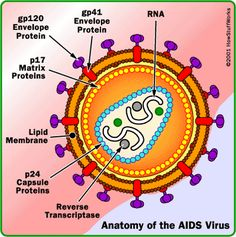 Anatomy of HIV/AIDS virus