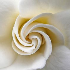 Swirls: Macro photo of a white gardenia