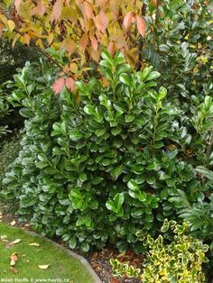 ceanothus 39 ray hartman 39 ray hartman wild lilac a fast growing evergreen shrub or small tree. Black Bedroom Furniture Sets. Home Design Ideas
