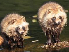 Despite their masked appearance, raccoon dogs are not closely related to raccoons. Rather, they belong to the Canidae family, alongside wolves and foxes.