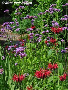 Angelonia Archangel Perennials Pinterest Plants