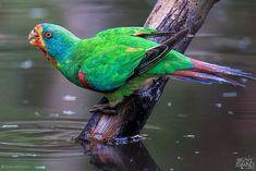 Tropical Birds, Colorful Birds, Australian Parrots, Bird Breeds, Bruny Island, Feral Cats, Small Birds, Budgies, Cockatoo