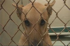Cabarrus Co. shelter animals facing possible euthanization - News 14 CONCORD -- The Cabarrus County Animal Shelter and Humane Society are in desperate need of the public's help. Come Friday night at 5 p.m., every animal must be out of the facility so crews can begin state mandated repairs. Volunteers have been busy for the past several weeks finding foster homes and rescues for more than 300 dogs and cats, but those who cannot find homes will be sent to the county vet to be euthanized.