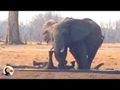 Lions Circle Trapped Baby Elephant UNTIL Another Elephant Family Shows U. A family to the rescue! Adopt An Elephant, Elephant Day, Elephant Family, Elephant Love, Beautiful Creatures, Animals Beautiful, Beautiful Images, Baby Animals, Cute Animals