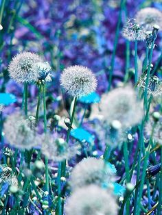everyday a different color, beautiful gifs, soft goth, nature. images that I like and attract my attention. I hope you'll find images here for your taste too. Dandelion Clock, Dandelion Wish, Dandelion Seeds, Wild Flowers, Beautiful Flowers, Beautiful Pictures, Blue Flowers, Bokeh, Make A Wish
