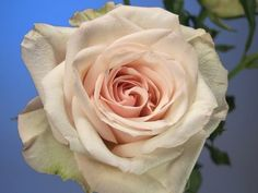Chablis Rose - Was used an an accent in that bouquet that you pinned and we both love!