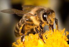 As abelhas operárias navegam utilizando anéis de óxido de ferro paramagnético que existem em seus abdomens. Esses anéis se alteram de acordo com as mudanças magnéticas externas, o que permite que os insetos encontrem o caminho para casa seguindo os campos magnéticos da Terra.