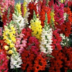 Shop and grow a beautiful selection of annual and perennial flower seeds. Try growing flowers for containers, cut flowers or edible flowers! Growing Flowers, Cut Flowers, Planting Flowers, Flower Plants, Tall Flowers, Snapdragon Flowers, Flowers Perennials, Crassula Ovata, Herb Seeds