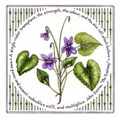 Watercolor by Susan Loy. The violet is the flower of February in the North American flower calendar. Violet means faithfulness or faith in the Victorian language of flowers. The sweet violet is Viola odorata. Violet is the diminutive of Viola, the Latin form of the Greek name Ione. Some writers explain this association with a Greek legend in which Jupiter changed his beloved Io into a white heifer and caused violets to grow as food for her.
