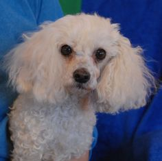 Peggy is a petite lady with a tender-hearted nature and she debuts for adoption today at Nevada SPCA (www.nevadaspca.org).  She is a dainty Toy Poodle, just 8 pounds, spayed, and approximately 7 years of age.  Peggy enjoys other sweet dogs and she is drawn to kind people.  We rescued her from another shelter and provided her with dental care.  Peggy is now very ready to begin her new life in a gentle home.