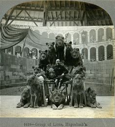 Circus Lions, 1905