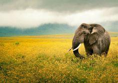elephant in a yellow flower field