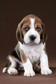 """Outstanding """"top beagle puppies"""" detail is offered on our web pages. Read more and you will not be sorry you did. Baby Beagle, Beagle Puppy, Baby Dogs, Cute Dogs And Puppies, I Love Dogs, Doggies, Perro Labrador Retriever, Big Dog Toys, English Dogs"""
