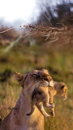 carrying your baby Cute Funny Animals, Cute Baby Animals, Animals And Pets, Cute Cats, Beautiful Cats, Animals Beautiful, Big Cats, Cats And Kittens, Gato Grande
