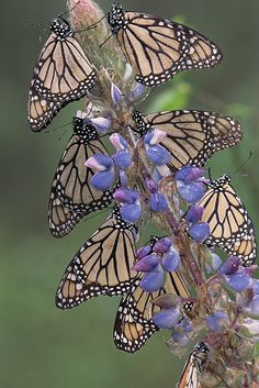 ~~ Monarch Danaus Plexippus Butterflies by Tim Fitzharris~~