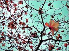 Neighbourhood magnolias