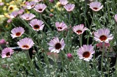 "Rhodanthemum Hosmariense ""Moroccan Daisy"" Slightly Pink?"