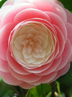 Gorgeous two color Camellia