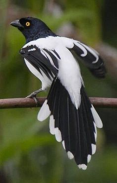 Magpies are birds of the corvidae (crow) family, including the black and white Eurasian Magpie, which is one of the few animal species known to be able to recognize itself in a mirror test.