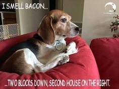 I smell bacon #beagle: Beautiful Beagles, Beagles God Luv Em, Beagles Rule, Beagles ️, Bacon Beagle, Bacon Continued, Smell Bacon, Beagles Hurley