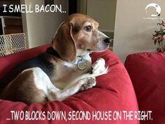 I smell bacon #beagle: Beautiful Beagles, Beagles God Luv Em, Beagles Rule, Beagles ️, Bacon Beagle, Bacon Continued, Smell Bacon, Beagles Hurley