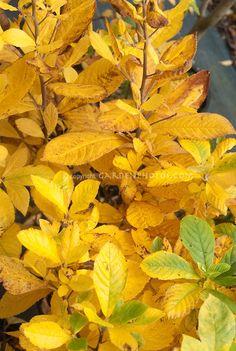 Clethra alnifolia autumn leaves    Photography ...