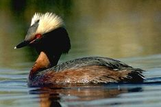 Horned Grebes breed in remote inland parts of the U.S. and much of Canada. It also breeds in vegetated areas of freshwater lakes across Europe and Asia.