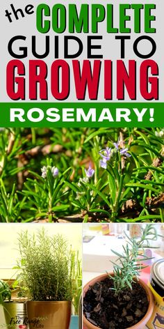 Do you love rosemary and want to learn how to grow your own? Learn everything you need to know about growing rosemary. Includes how to start cuttings, growing rosemary in containers, and growing rosemary indoors! Great information for beginner gardeners! Benefits Of Gardening, Organic Gardening Tips, Vegetable Gardening, Growing Herbs, Growing Vegetables, Evergreen Herbs, Rosemary Plant, Outside Plants, Cuttings
