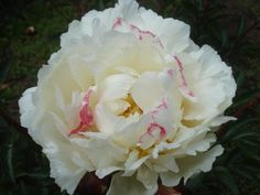 Peony 'Mons. Dupont' (Calot, 1872). This super fragrant peony is excellent in floral arrangements.