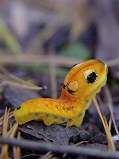 Papilio Troilus Caterpillar