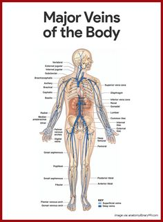 Cardiovascular System Anatomy and Physiology: Study Guide for Nurses or medical students. Nursing School Notes, Nursing Schools, Medical School, Body Anatomy, Anatomy Study, Medical Anatomy, Human Anatomy And Physiology, Medical Coding, Medical Information