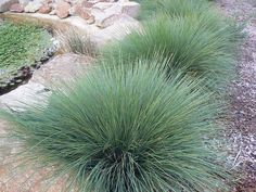 "lomandra ""Tanika"" native plant - To be planted in mass around front path and area of front garden near accaccias to constrast leaf shape,texture and differing shades of green, For Gillett Drive"