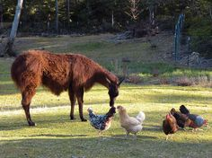 Guard Llama Protects Poultry - Modern Homesteading - MOTHER EARTH NEWS